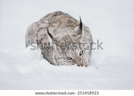 A Eurasian Lynx lying down and chewing a meal that is buried under the snow. - stock photo