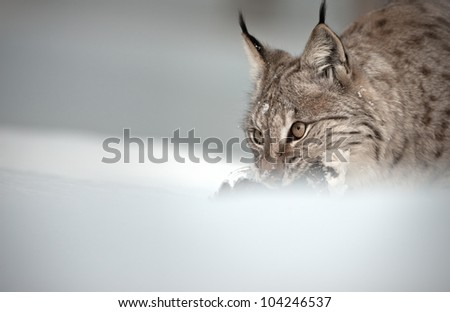 A Eurasian Lynx with it's Ptarmigan prey, which it catches in deep snow. Photograph with negative space to the left. - stock photo