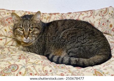 a european domestic cat crouching on a cushion - stock photo