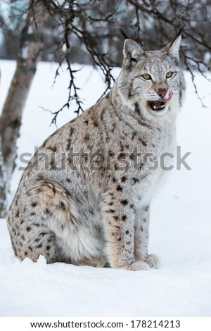 A european lynx in the forest. February, Norway. - stock photo