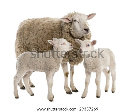 a Ewe with her two lambs in front of a white background - stock photo