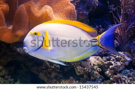 a exotic tropical fish in a aquarium - stock photo