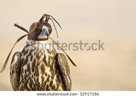 A falcon wearing its hood, shot in a middle eastern desert location. - stock photo