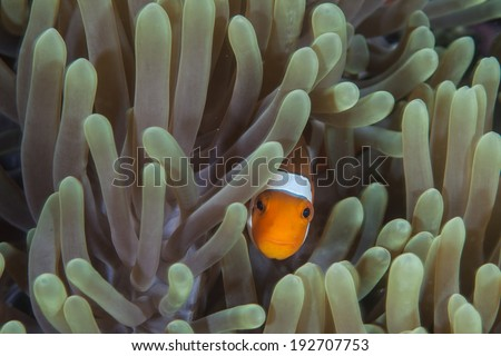 A False clownfish (Amphiprion ocellaris) peers out from the protective tentacles of its host anemone on a coral reef in Indonesia. - stock photo