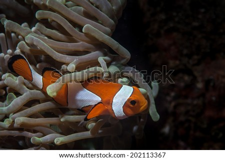 A False clownfish (Amphiprion ocellaris) swims among the tentacles of its host anemone on a coral reef in the tropical western Pacific. - stock photo