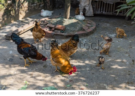 A family of antibiotic and hormone free chickens are pecking the ground on a traditional free range poultry farm in the countryside of Viet Nam. Organic food and sustainable agriculture concept. - stock photo