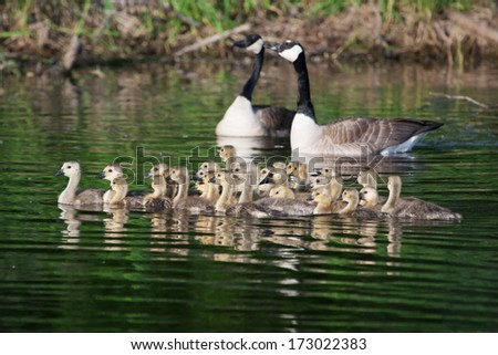 A family of Canadian goslings swimming together - stock photo