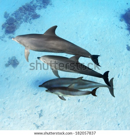 A family of dolphins with a baby swimming underwater over sandy bottom - stock photo