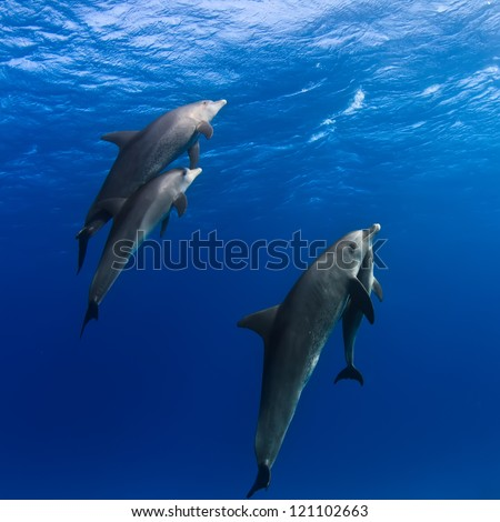 A family of dolphins with a baby swimming up to the surface - stock photo