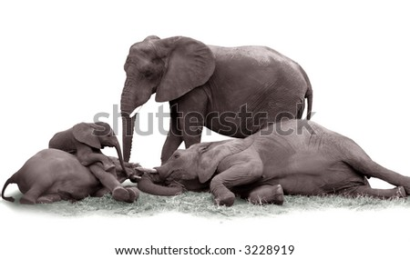 A family of elephants having fun together (isolated in white) - stock photo