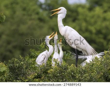 A family of great egrets (Ardea alba) at a rookery, High Island, Texas, USA - stock photo