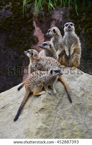 A family of meerkats on top of a stone - stock photo