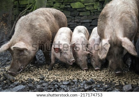 A family of pigs eating pellets of food - stock photo