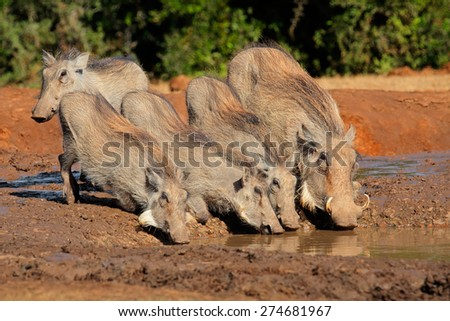 A family of warthogs (Phacochoerus africanus) drinking water, South Africa - stock photo