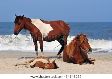 a family of wild ponies resting on the beach of Assateague Island in Maryland - stock photo