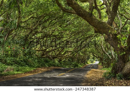 A far away walker reach the end of a long and undulating paved road going through a tree tunnel in Hawaii. - stock photo