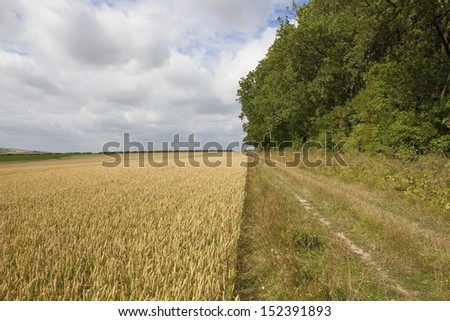 a farm track beside a field of wheat in the yorkshire wolds england under a blue cloudy sky in summer - stock photo