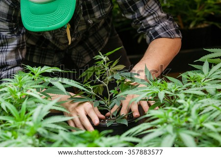 a farmer puts his marijuana plant into soil - stock photo