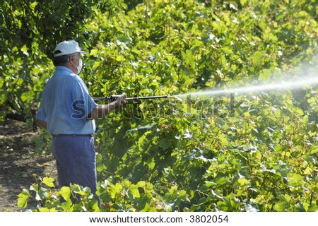 A farmer sprays his vines with some chemical substance, wearing only a face mask. - stock photo