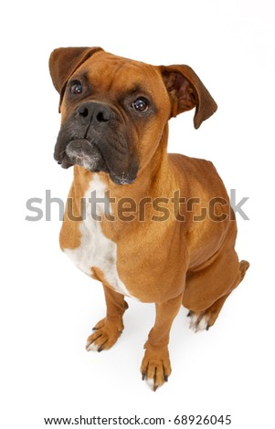 A fawn Boxer dog sitting down and looking up. Isolated on white - stock photo