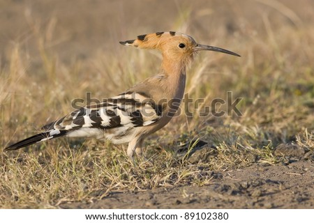A fawn colored bird with long beak, found in Indian Subcontinent - stock photo