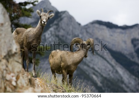 A female bighorn sheep watches the camera while the male surveys the mountain terrain. Photo shot in Banff National Park, Alberta, Canada. - stock photo