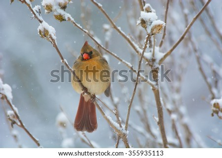 A female cardinal perched on a Rose of Sharon shrub during a winter snowfall. - stock photo