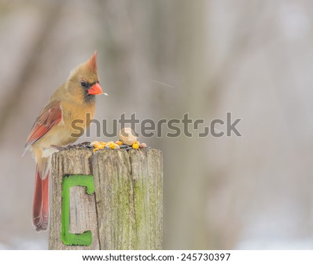 A female cardinals perched on a wood post. - stock photo