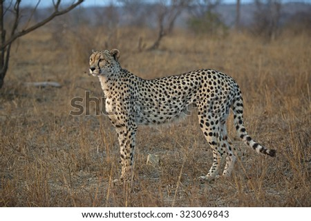 A Female Cheetah gazes across the Savannah plains of Africa in search of Antelope  - stock photo
