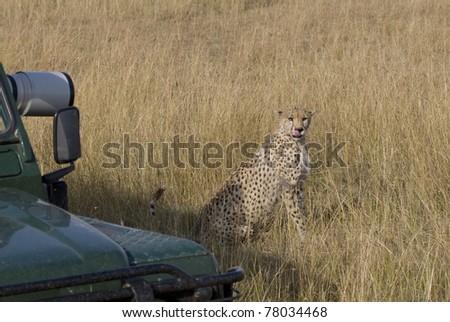 A female cheetah near a safari vehicle in the Masai Mara. - stock photo
