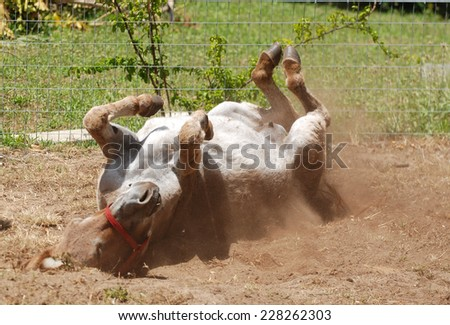A female donkey rolling in the sand on the farm and feeling good. - stock photo