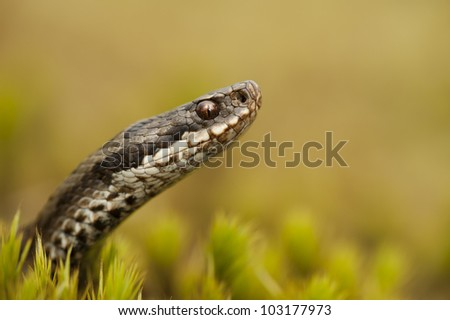 A female European Adder (Vipera berus) hunting in Sphagnum Moss at the side of a small stream looking for juvenile amphibians such as frogs. - stock photo