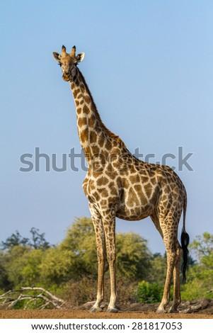 A female giraffe at Mashatu Game Reserve in Botswana. - stock photo