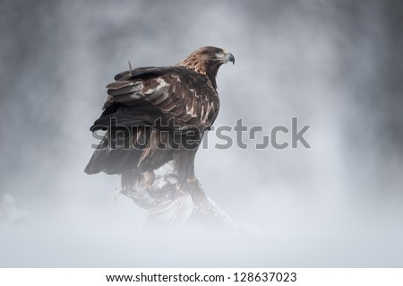 A female Golden Eagle in the wilderness of the Norwegian mountain winter.  Perched on a fallen pine, she is about to feed on her Ptarmigan prey. - stock photo