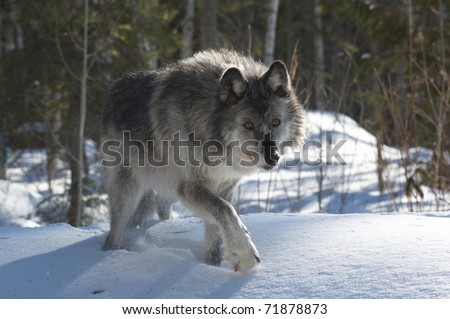 A female gray wolf in snow during winter - stock photo