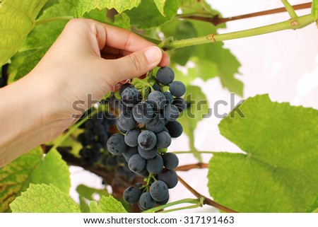 A female hand picks up a blue bunch of grapes. The harvesting.  - stock photo