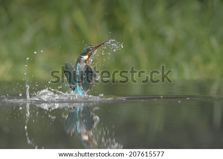 A female Kingfisher leaving the water after an unsuccessful dive. - stock photo