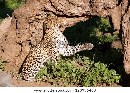 A female leopard scent-marks her territory - stock photo