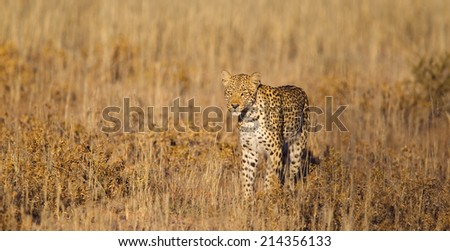 A female Leopard stood in parched grass in the Kalahari Desert, Kgalagadi Transfrontier Park, South Africa - stock photo