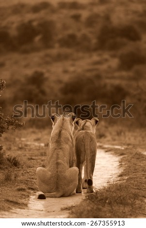 A female lioness and a young male lion hunting in this sepia tone image - stock photo