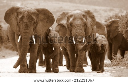 A female matriarch elephant mother leads her herd including all the small baby calves to a favorite watering hole in Pumba private game reserve,eastern cape,south africa. - stock photo