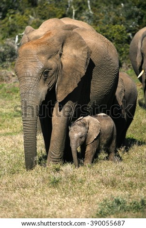 A female matriarch elephant mother leads her herd including all the small baby calves to a favorite watering hole,eastern cape,south africa - stock photo