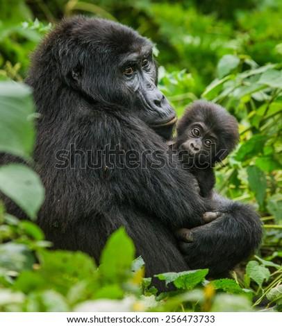 A female mountain gorilla with a baby. Uganda. - stock photo