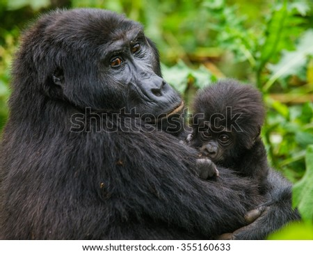 A female mountain gorilla with a baby. Uganda. Bwindi Impenetrable Forest National Park.  - stock photo