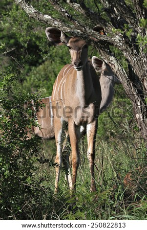 A female Nyala stands in the bush in an African game reserve. - stock photo