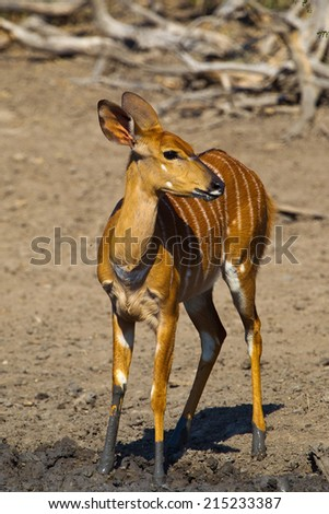 A female Nyala (Tragelaphus angasii)  with muddy legs, against a blurred natural background in Hluhluwe game reserve, South Africa - stock photo