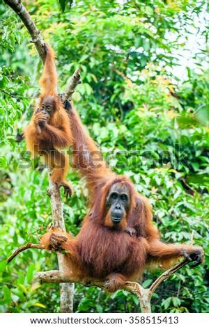 A female of the orangutan with a cub in a native habitat.  Bornean orangutan (Pongo pygmaeus) in the wild nature.Rainforest of  Island Borneo. Indonesia. - stock photo