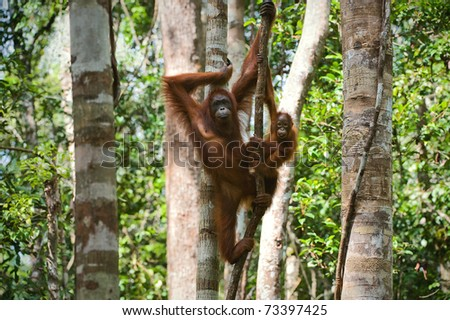 A female of the orangutan with a cub in a native habitat. Rain wood of Borneo. - stock photo
