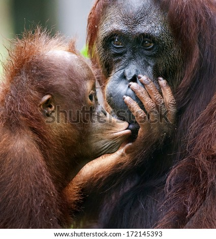 A female of the orangutan with a cub in a native habitat.The cub of the orangutan kisses mum. Borneo Rainforest.  - stock photo