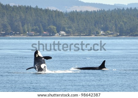 A female orca breaches in front of another killer whale. - stock photo